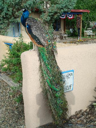 American Artists Gallery B&B: George the Peacock in front of the B and B sign