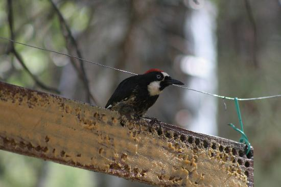 Indian Lodge: Acorn Woodpecker