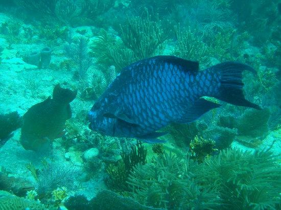 Ocean Divers: midnight parrot fish