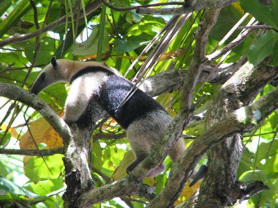 Luna Lodge: An anteater
