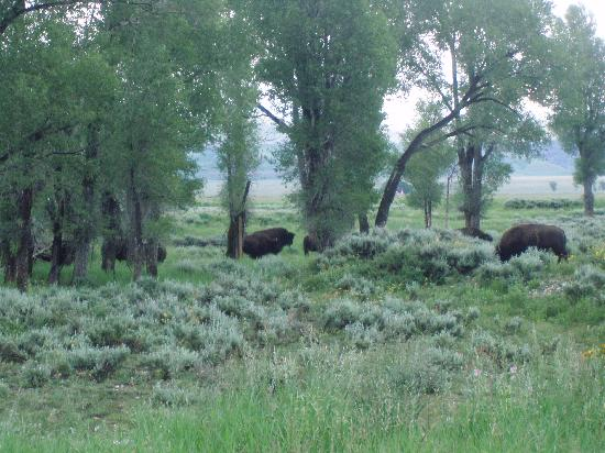 McReynolds Blacktail Cabins: Bison enjoying a meal on the property