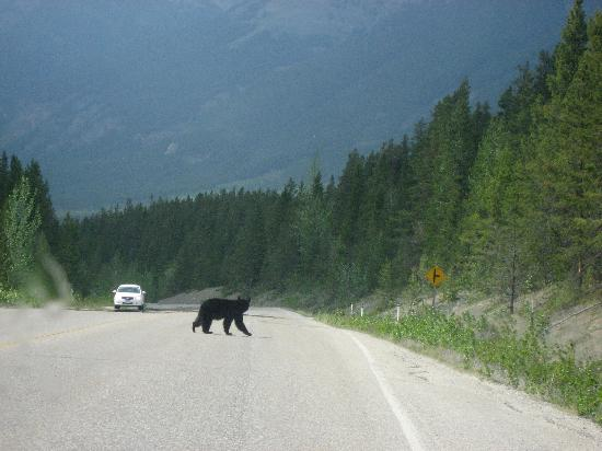 Treetops Banff Bed and Breakfast: Bear Crossing!