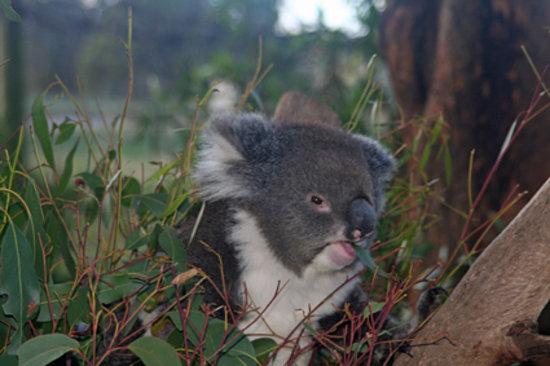 Trowunna Wildlife Park: the sole koala - they aren't native to Tasmania