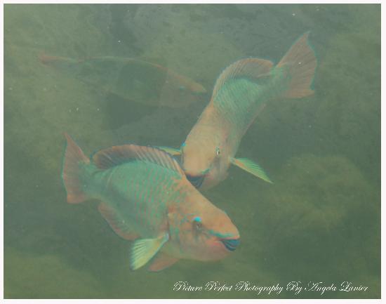 Blackfin Resort and Marina: fish in the marina area