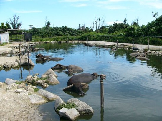 Yubu-jima, اليابان: 牛の水浴び