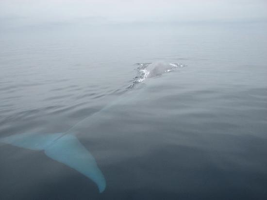 Dana Point, Kaliforniya: Blue whale 2