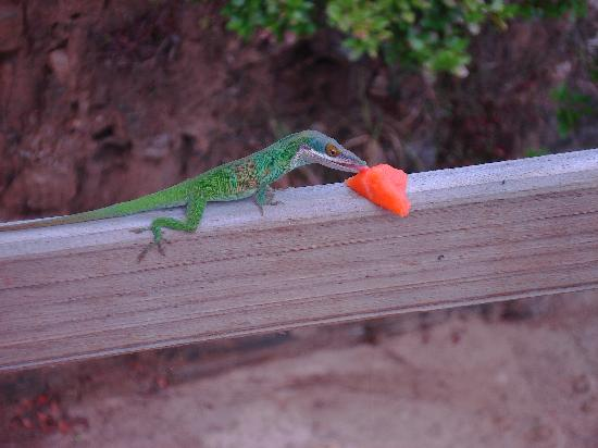 Keifito's Plantation Retreat: We gave some of our papaya to a funny lizard
