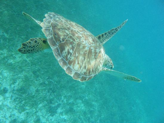 Pelican Reef Villas Resort: Sea Turtle