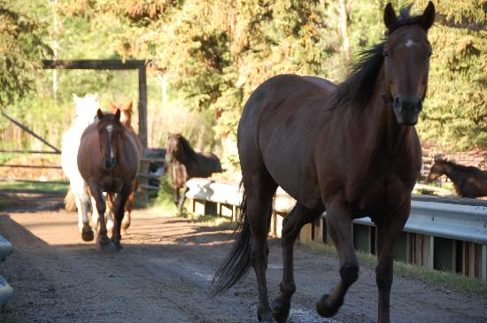 Spotted Horse Ranch: The morning run of the horses to the corral