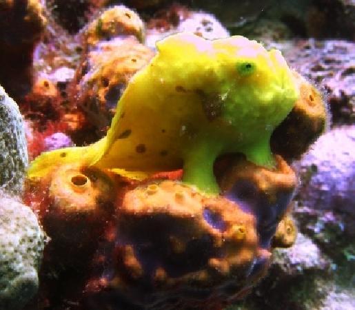 Nature Island Dive Resort: Frogfish