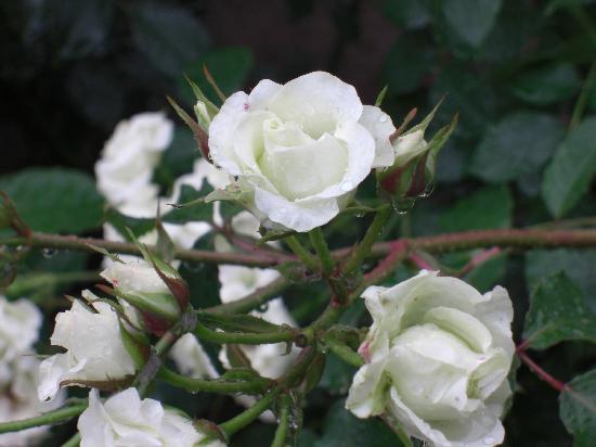 Former Fukukawa Gardens: 白薔薇。