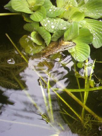Charlestown, Rhode Island: Water Garden closeup