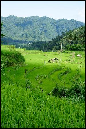 Sidemen's rice paddies-1