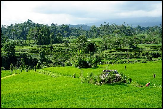 Sidemen's rice paddies-2