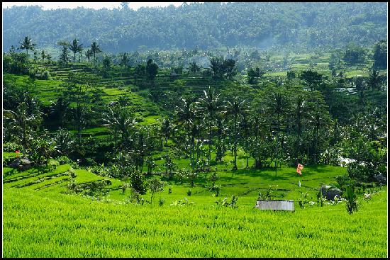 Sidemen's rice paddies-3