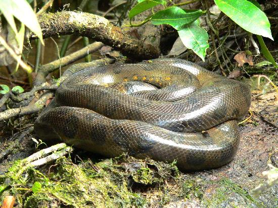 Green Anaconda - Picture of Tapir Lodge, Cuyabeno Wildlife