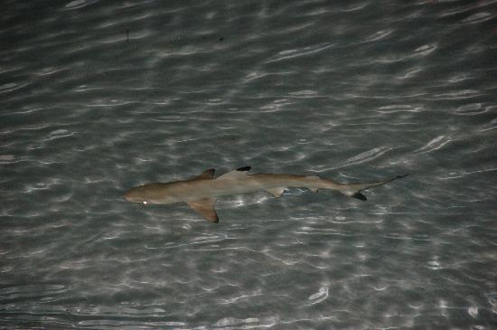 Kurumba Maldives: Friendly Sharks viewed from Restaurant