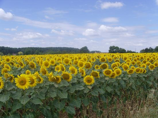 Matha, France: Sunflower fields again!