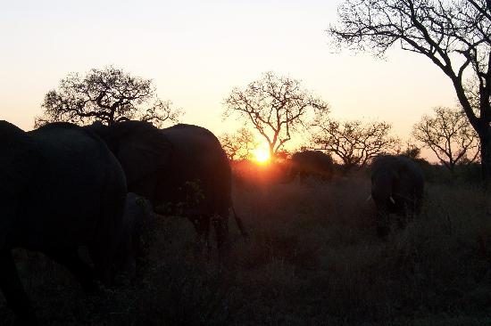 Londolozi Pioneer Camp: Herds of elephants at sunset