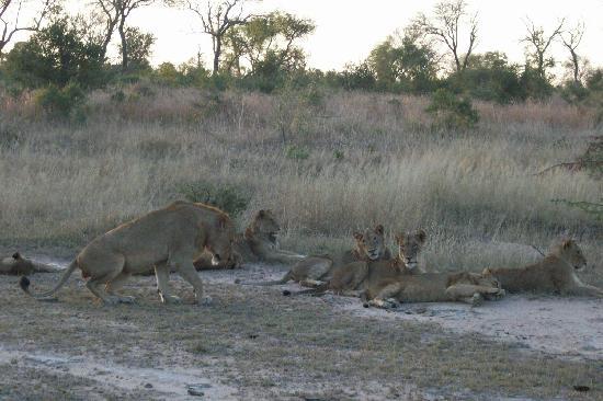 Londolozi Pioneer Camp: Lions at Londolozi