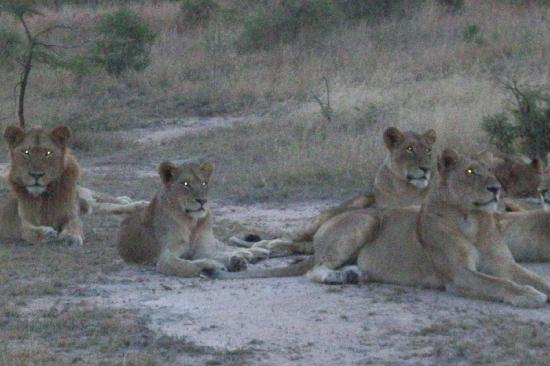 Londolozi Pioneer Camp : More lions at Londolozi