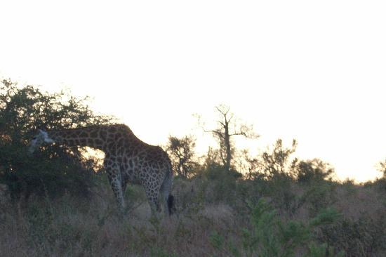 Londolozi Pioneer Camp: A giraffe!