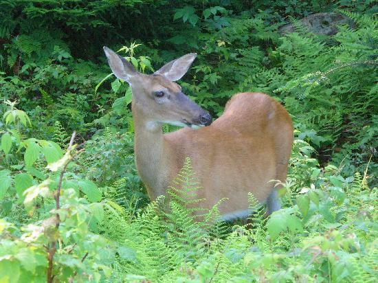Old Forge Camping Resort : white-tailed deer