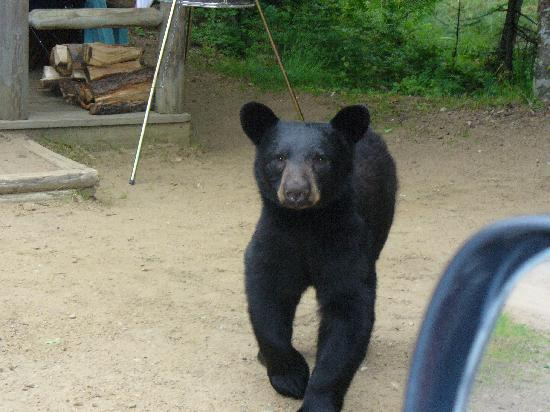 Old Forge Camping Resort: black bear