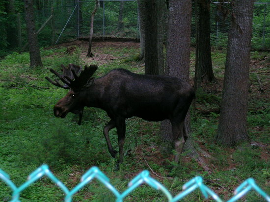 Gray, ME: The Moose!
