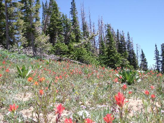 Cedar Breaks National Monument: Wildflowers on the hike to Spectra Point