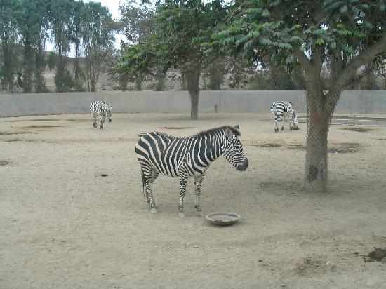 Parque de las Leyendas (Zoo): Zebras