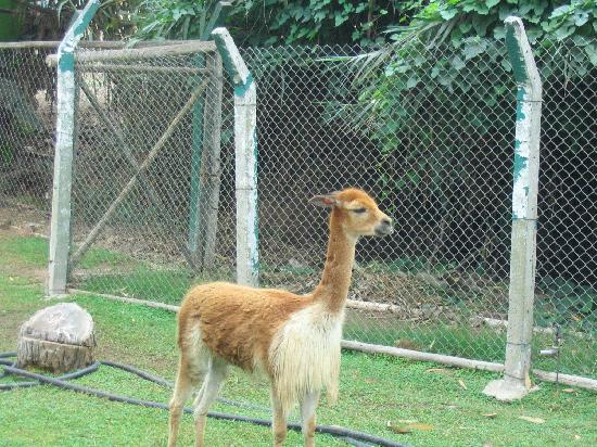Parque de las Leyendas (Zoo): Vicuna