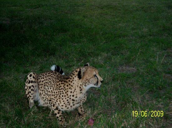 AmaZulu Lodge: Up close with cheetah