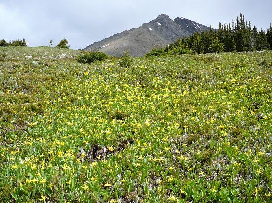 Shadow Lake Lodge: Glacier lily meadows near Whistling Pass