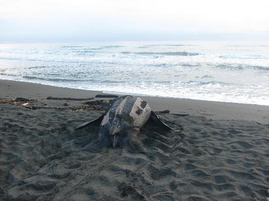 Gandoca - Manzanillo Wildlife Refuge: Leatherback turtle in Gandoca