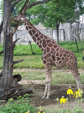 Indianapolis Zoo : You can feed the giraffes if you are there at the right time
