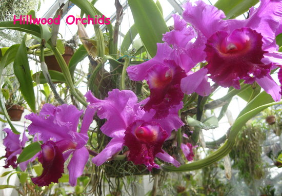 Hillwood Museum & Gardens: Greenhouse orchid