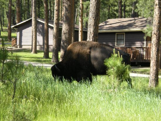 Blue Bell Lodge: A buffalo grazing by our cabin!