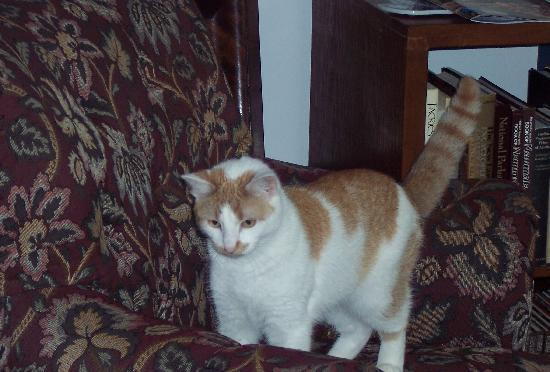 Henniker House: Bart - Very Playful Cat