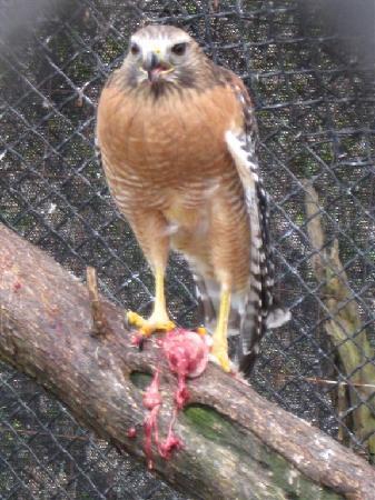 Tavernier, FL: falcon