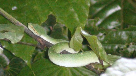 Sepilok, Malasia: Tree Viper at the entrance