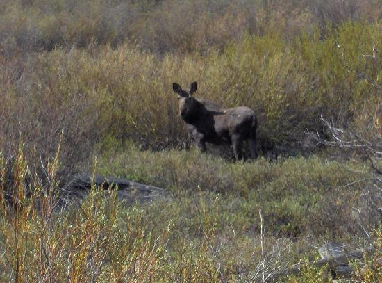 Z-Bar Motel: Mountain wildlife (Moose Cow)