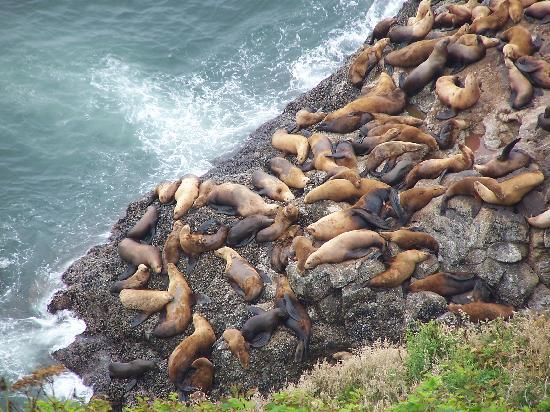 Sea Lion Caves: sea lions at viewpoint