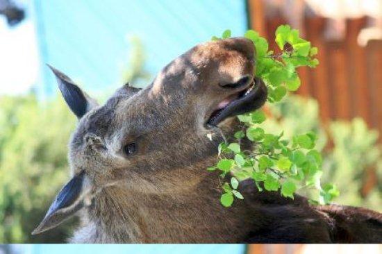 Alaska Redfish Lodge: Moose Eating
