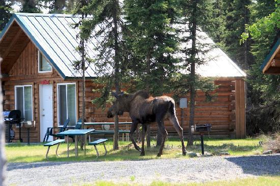 Alaska Redfish Lodge: Moose in Front of Cabins