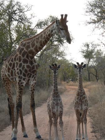 Kapama River Lodge: Giraffes.
