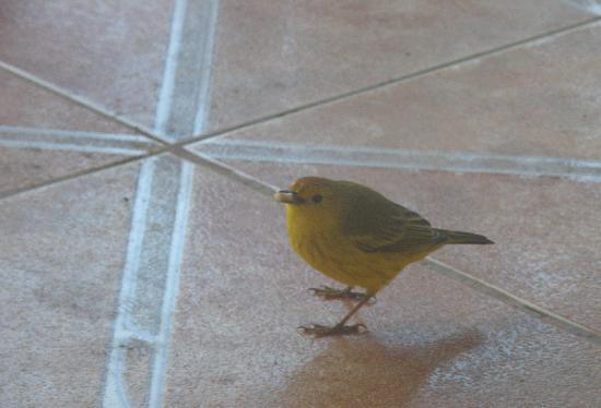 Hotel Gardner: a welcome staff member- a yellow warbler