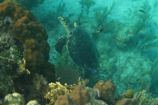 Bananarama Beach and Dive Resort: Turtle grazing the reef