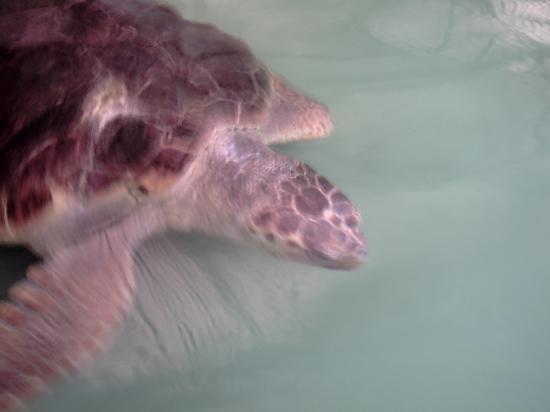 Villa Ozalp: a loggerhead turtle