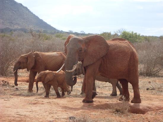Bamburi Beach Hotel : Elephants at Tsavo